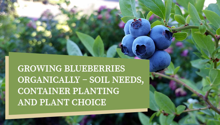 Growing Blueberries Organically – Soil Needs, Container Planting and Plant Choice