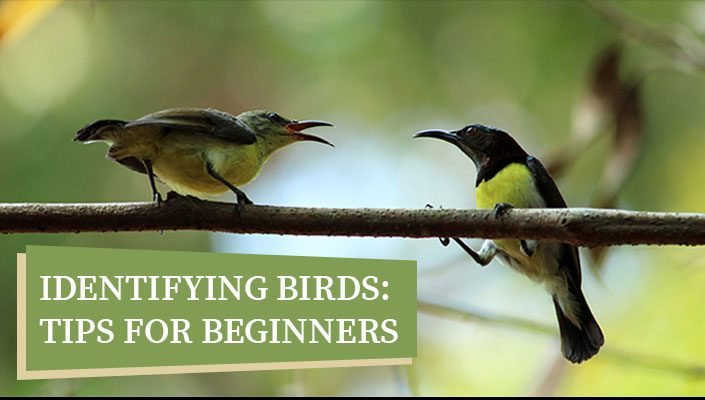 Identifying Birds: Tips for Beginners