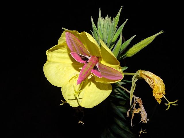 primrose-adverse